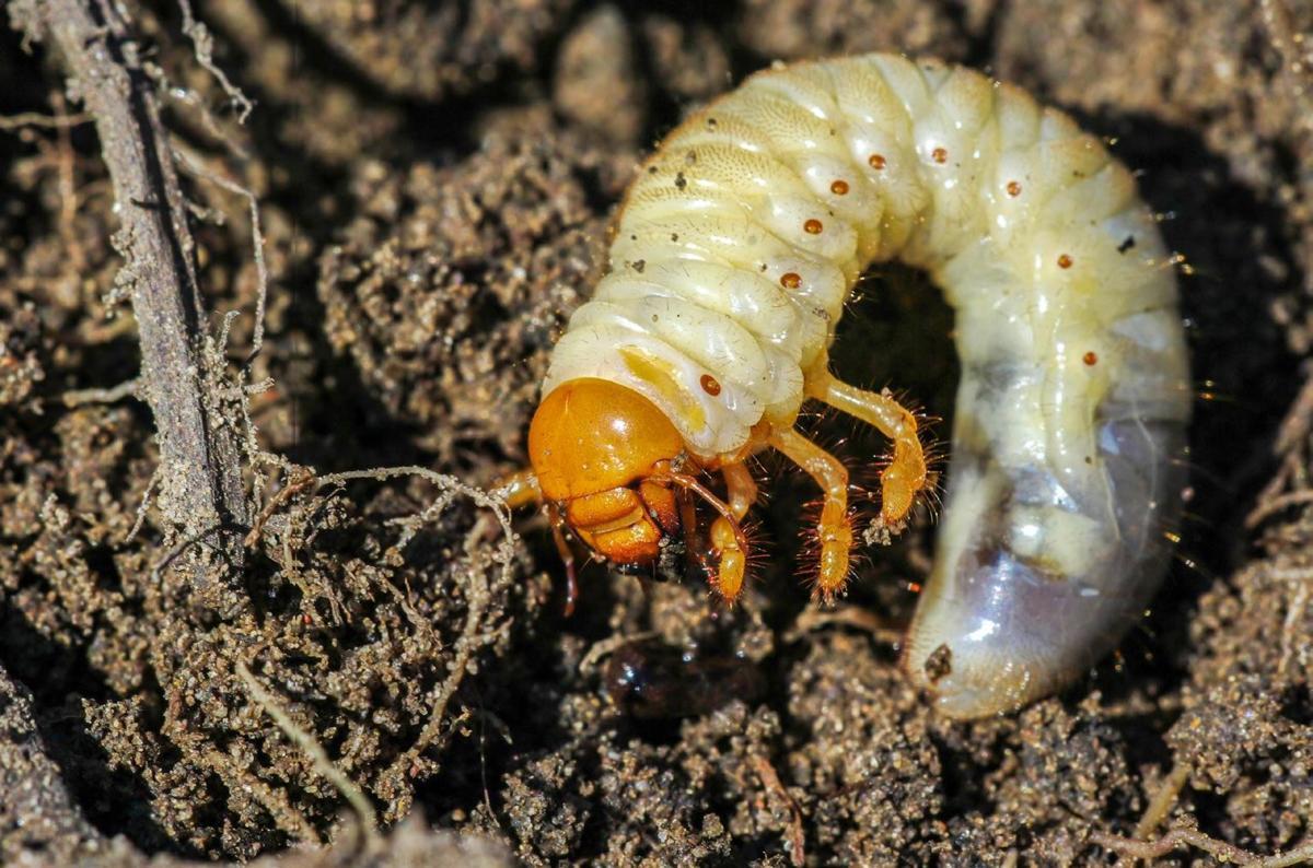 Würmer braune Kleine braune